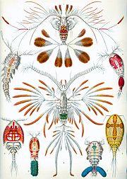 Copepoda (zooplankton)