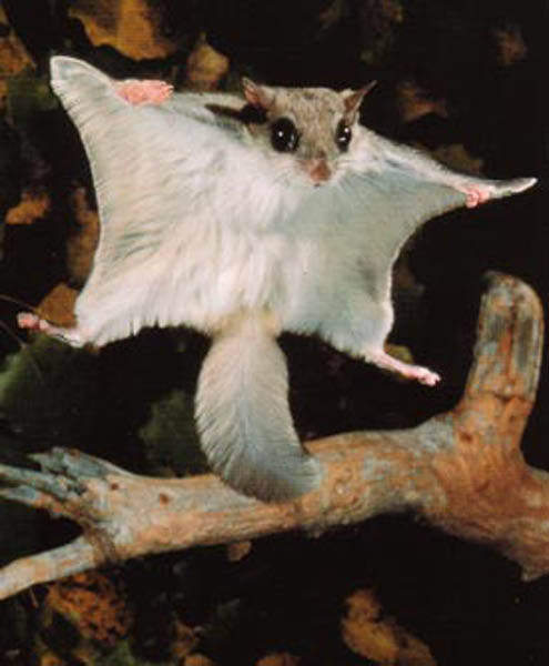 DW: Sugar Gliders Compered to Flying Squirrels | Somewhat ...